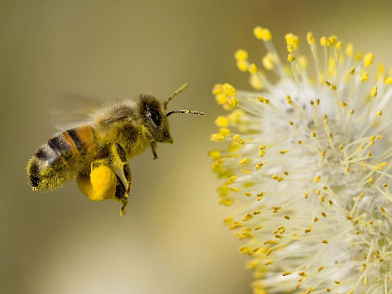 Porqu son tan importantes las abejas en la vida del ser humano