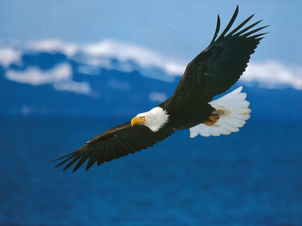 1348964137_American_Bald_Eagle_in_Flight